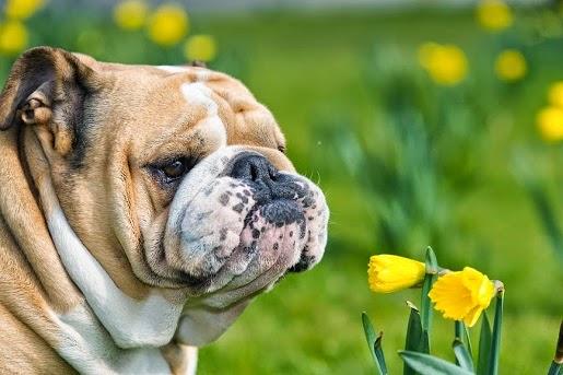 Rośliny groźne dla zdrowia psa