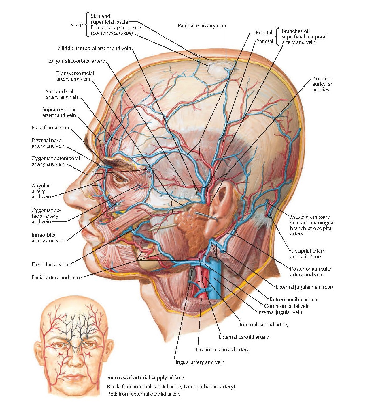 Anatomy Superficial Arteries and Veins of Face and Scalp