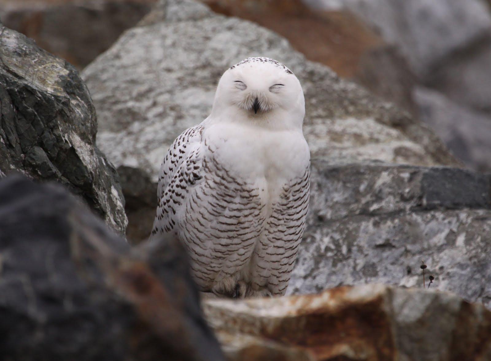 Michael and Winnie's Sweet Home: 雪鴞 Snowy Owl 來了