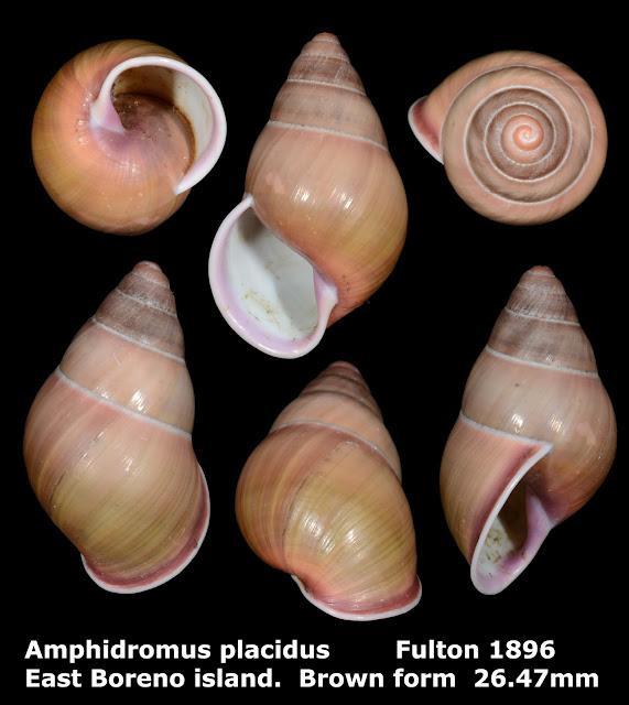 Amphidromus placidus 26.47mm (Brown)