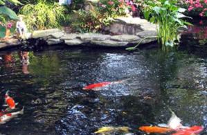 agar tidak mati, bagi pemula, cara budidaya ikan koi lengkap, cara memelihara ikan koi di kolam terpal, Koi,