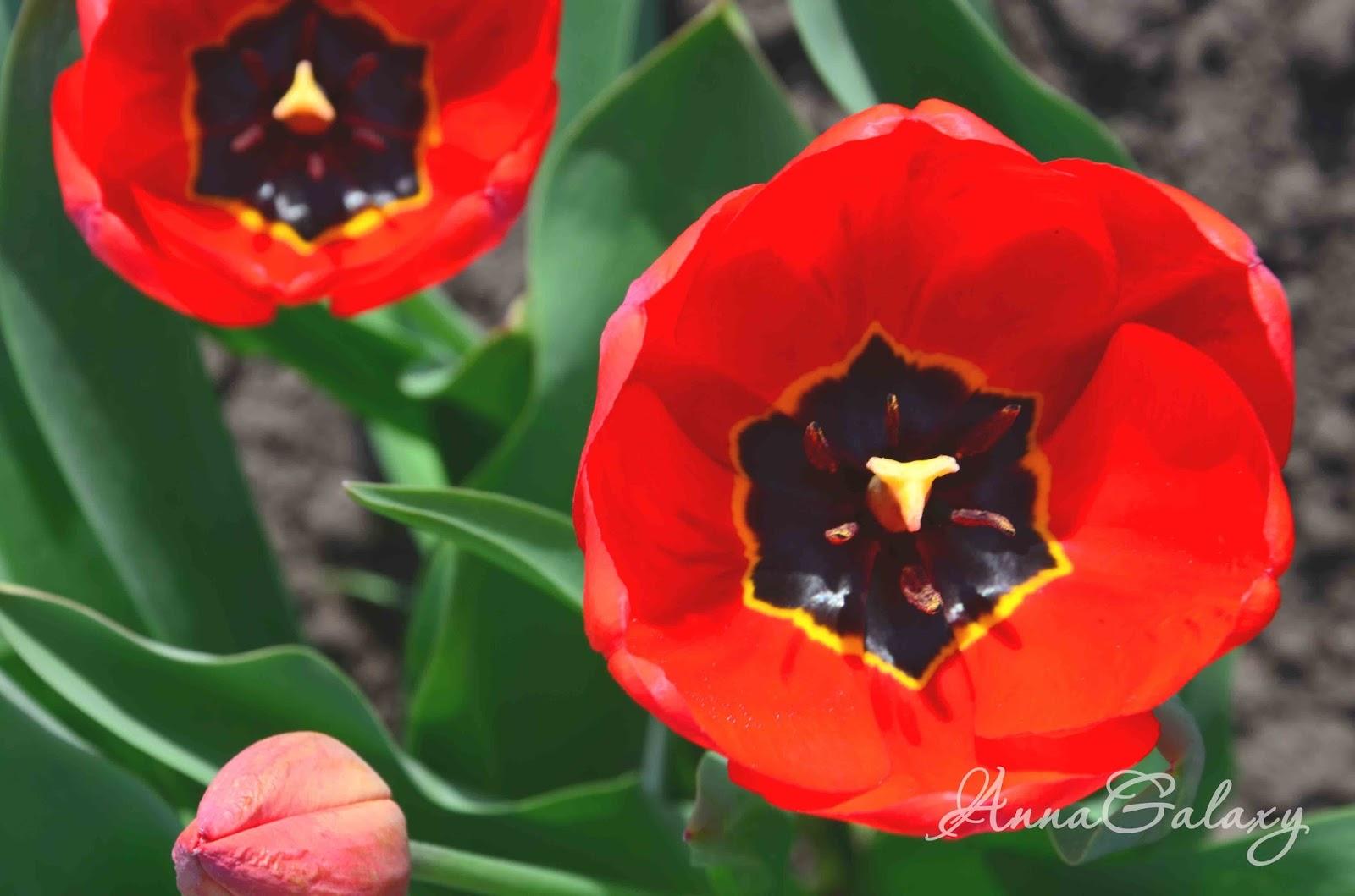 Большие красивые красные тюльпаны