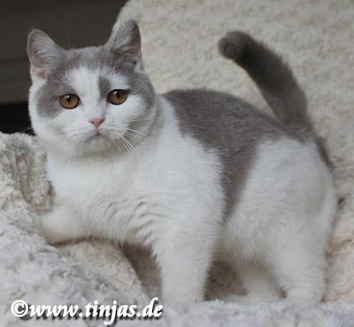 Britisch Kurzhaar Katzenbaby lilac-white 2019 07