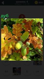 Изображение желудей, которые растут на дубе и вокруг дубовые листья