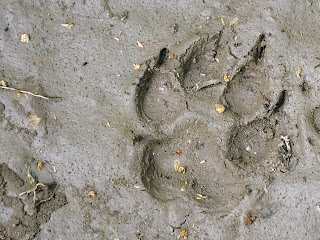 Dog print in mud