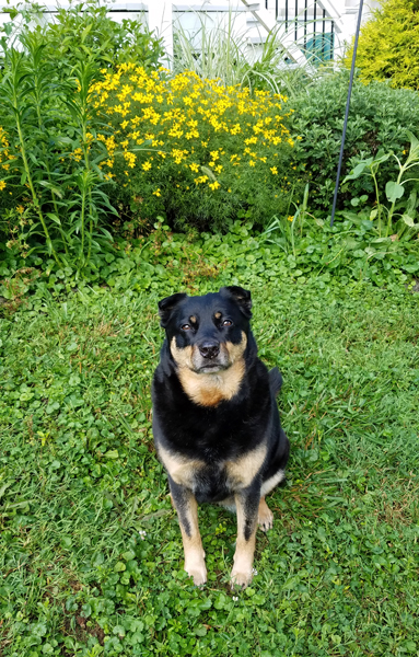 image of Zelda the Black and Tan Mutt sitting in the garden, looking at me