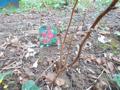 Grow your own raspberries 80 Minute Allotment Green Fingered Blog