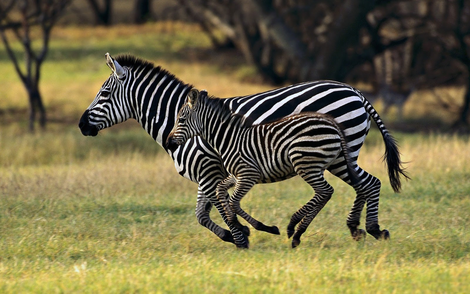 Beautiful Wallpapers: zebra rare pictures collection