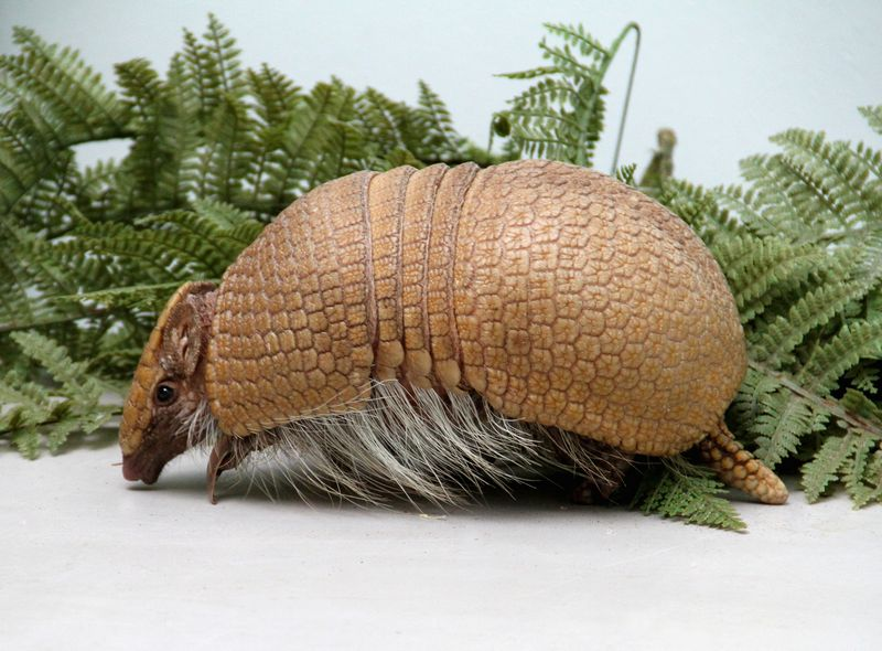 Baby Animals: A rare Southern Three-Banded Armadillo - Pup 11