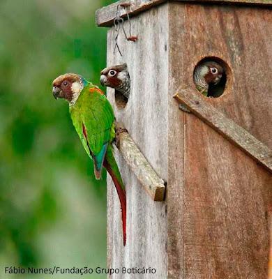 Periquito-cara-suja, Pyrrhura griseipectus, Gray-breasted Parakeet,  tiriba-de-peito-cinza, extinção, aves ameaçadas, aves do brasil, animais ameaçados de extinção, birds, periquito, tiriba, pássaros do brasil, pássaros, natureza, blog natureza e conservação, wildlife, nature, picture birds, aves da caatinga, aves da mata atlântica
