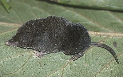 Phillip´s Congo shrew