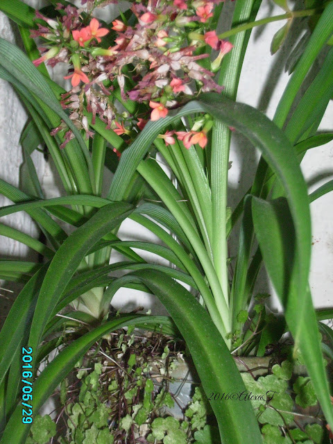 """Wikipedia """" Spider plant or Chlorophytum comosum, also known as airplane plant, St. Bernard's lily, spider ivy, or ribbon plant, is a flowering perennial herb. It is native to tropical and southern Africa, but has become naturalized in other parts of the world, including western Australia. Chlorophytum comosum is easy to grow as a houseplant; variegated forms are the most popular."""""""