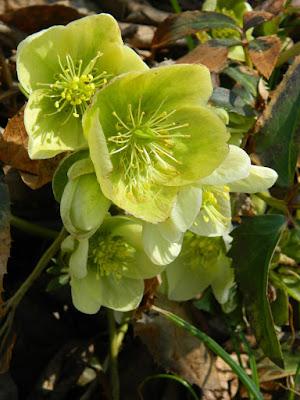 Lenten Rose Hellebore flowers detail at Toronto Botanical Garden by garden muses-not another Toronto gardening blog