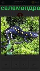 Пятнистая легендарная саламандра с длинным хвостом ползает по траве в поисках пищи