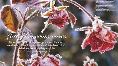 Rosas a finales de otoño