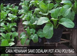 Tanam Sawi dalam Pot atau Polybag secara sederhana
