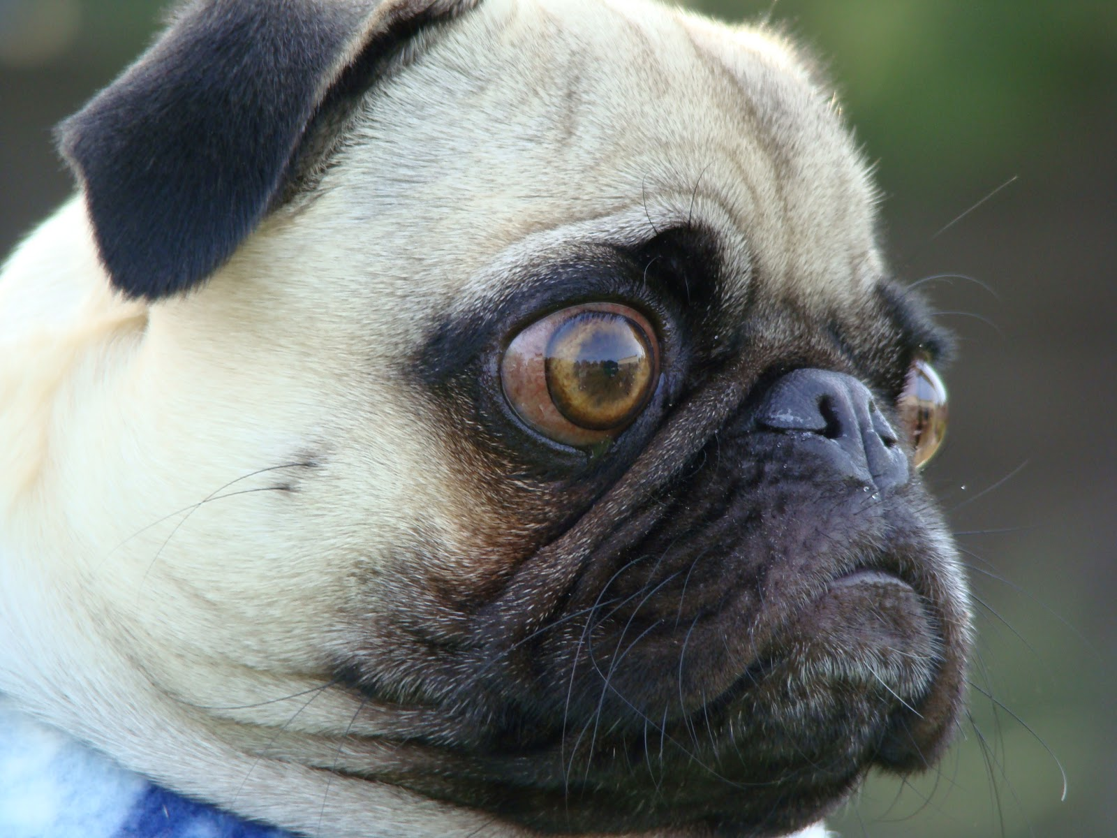 How to Diagnose Eye Problems in Pugs pics
