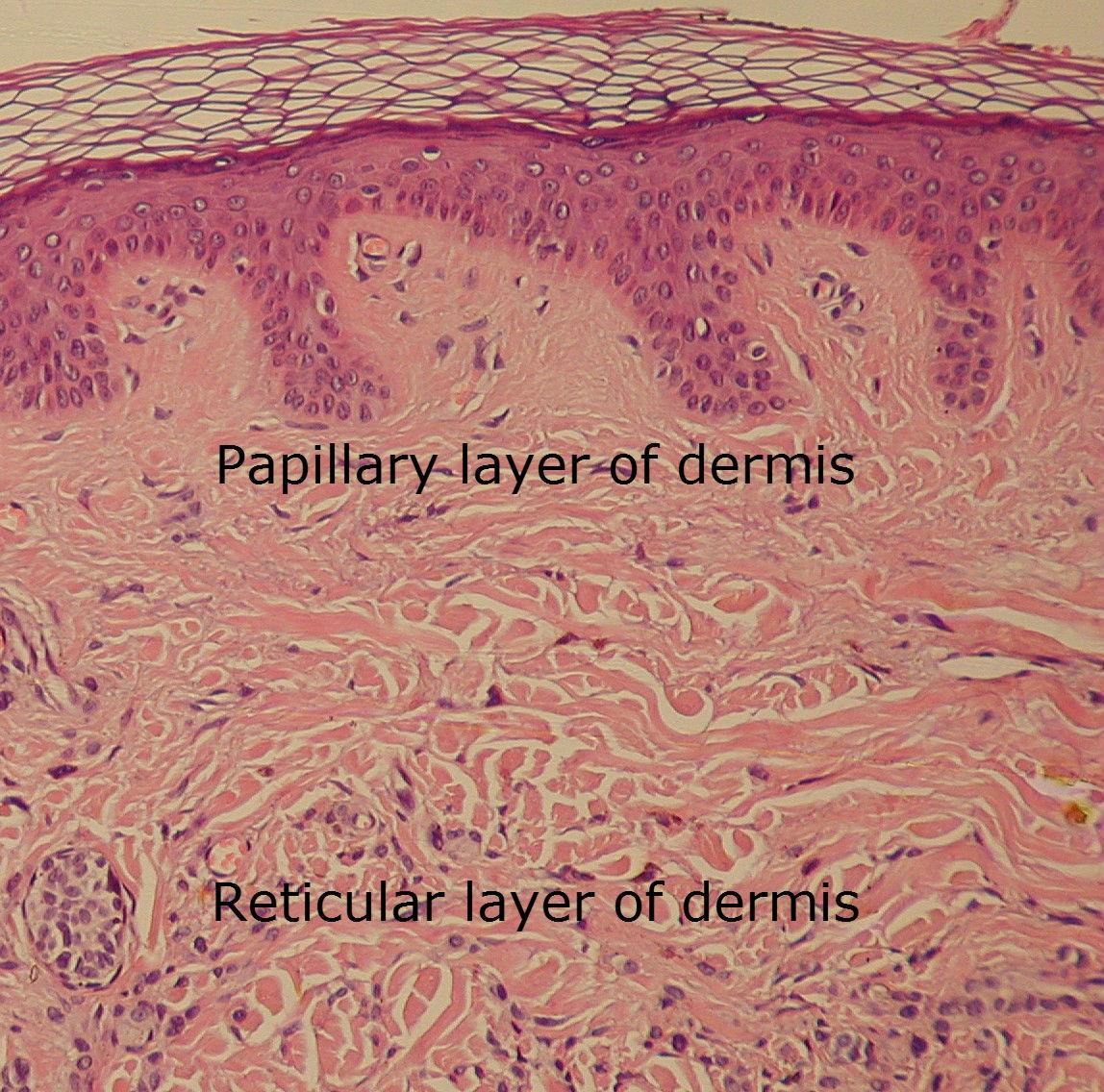 Dermis Reticular Layer Of Dermis The Dynamic Natural