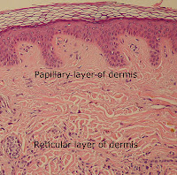 Dermis showing reticular layer.