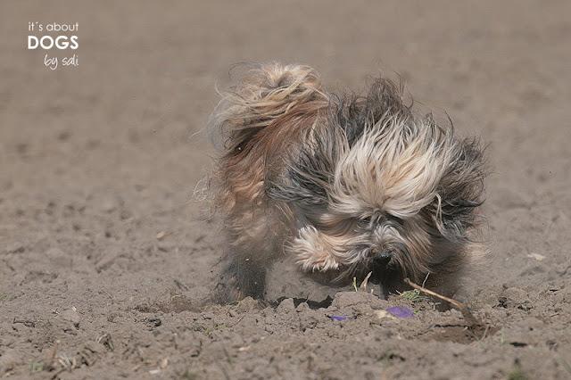 Tibet Terrier Chiru macht alles um nicht mehr frischgebadet auszusehen...
