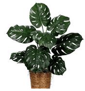 manfaat tanaman hias philodendron, cara budidaya philodendron, jenis tanaman philodendron, cara merawat tanaman philodendron, jenis jenis tanaman philodendron, jenis philodendron, ciri ciri tanaman philodendron, philodendron bipinnatifidum