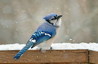 Blue Jay | blue jay facts