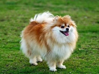 animal planet picture: Pomeranian Dogs Texas Pomeranian Breeders