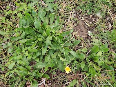 Ραδίκια άγρια-Ταραξάκο-Taraxacum officinalis