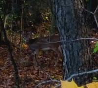 Deer Hunting, Ohio, Whitetail, Ohio Whitetail