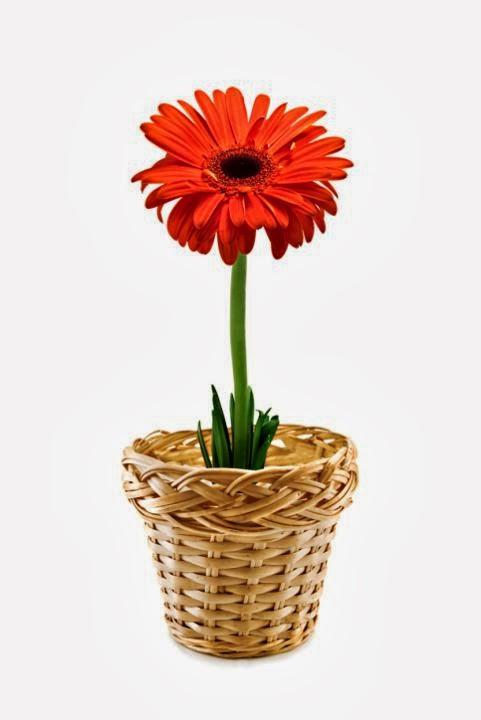 Gambar Gerbera Bunga Hadiah Valentines Day