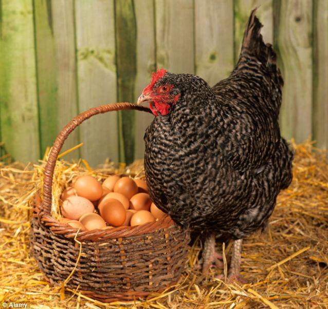 البيضة والدجاجة