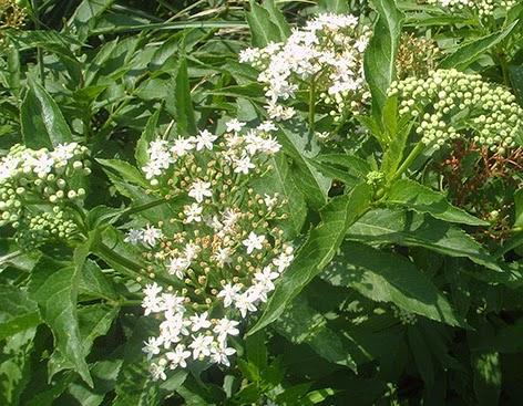 Sauquillo o Yezgo (Sambucus ebulus) flor silvestre blanca