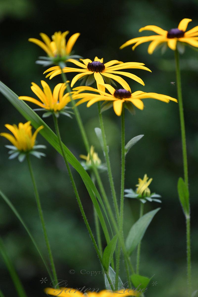 Garten liebe sonnenschein f r den garten rudbeckien - Sonnen regenschirm fur garten ...