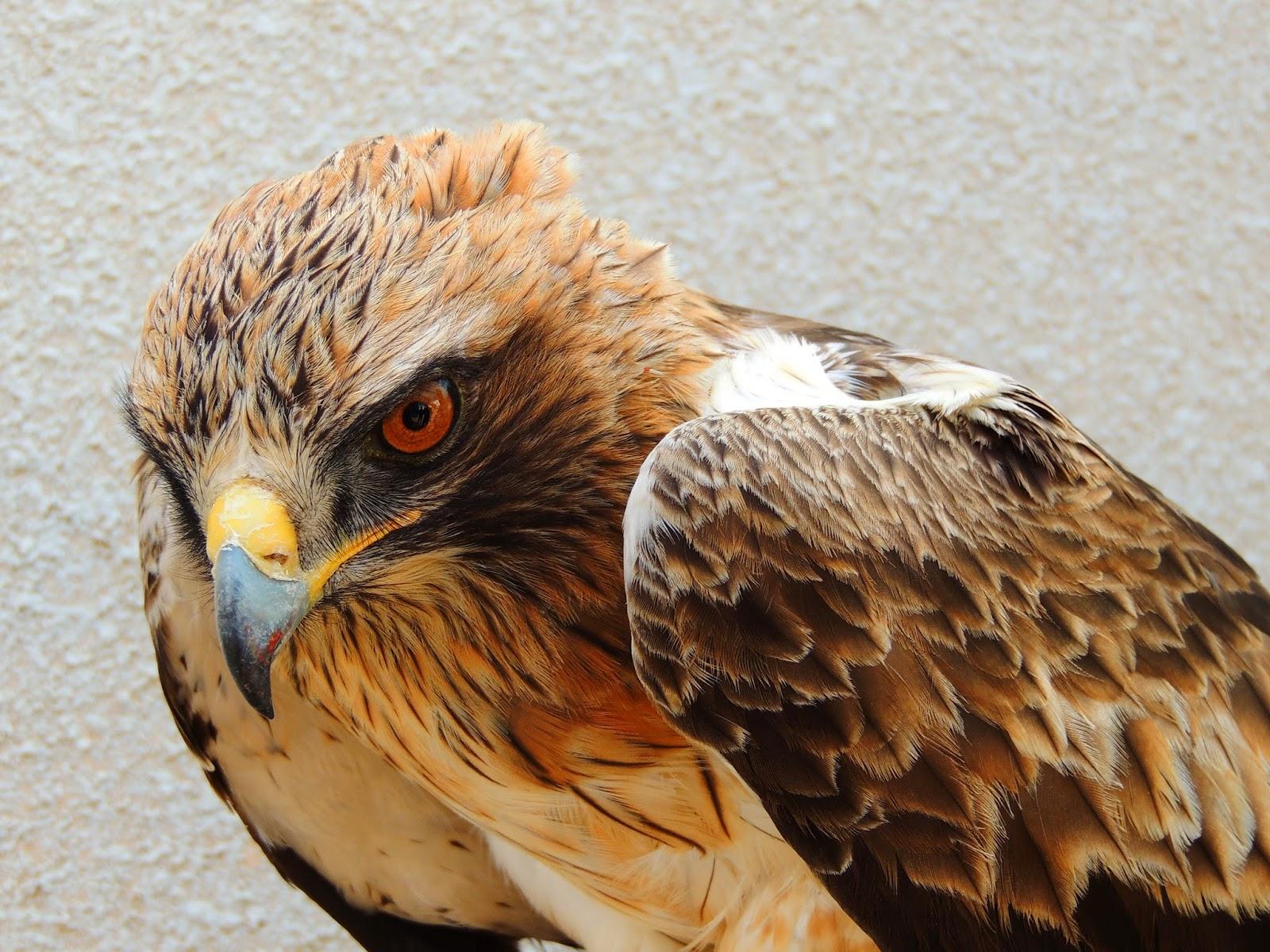 Kibbutz Lotan Birding Center: First Eagle in the net - a ...