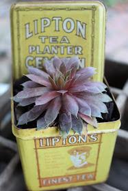 succulent in tea tin
