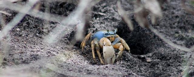Blue Land Crab (Cardisoma Guanhumi) Muy típicos de la zona costera