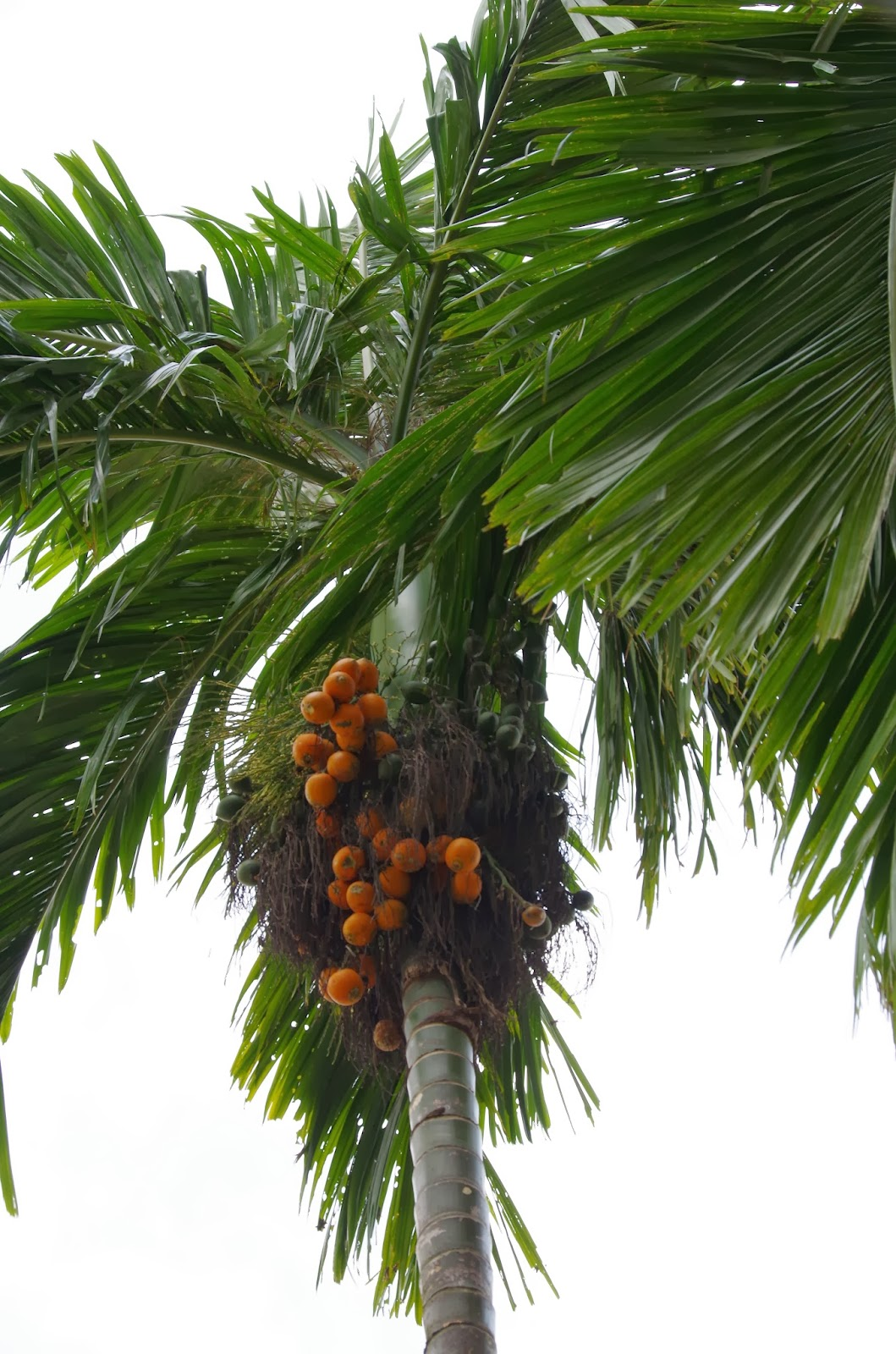 Trees And Plants Betel Nut Palm