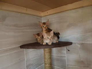 ocicat Male and female Kittens for sale