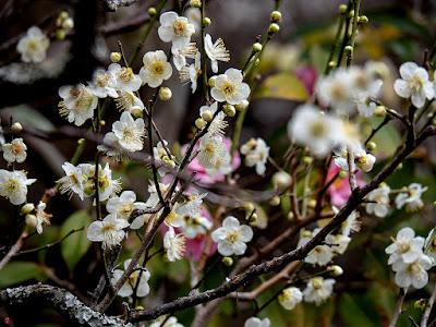 White ume (Prunus mume) flowers: Kaizo-ji