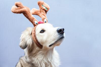 dog wearing reindeer ears
