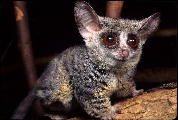 Galago Rondo: Conoce sobre este animal nocturno. - Es Asombroso