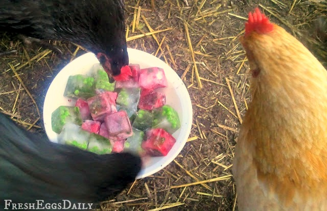 frozen ice cube treats for chickens mint helps beat the heat