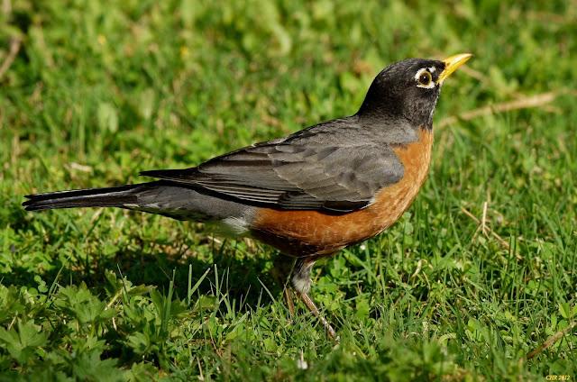 american robin photos gallery