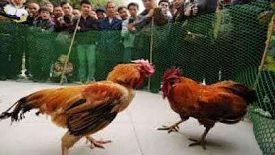 Situs Sabung Ayam Online Terpercaya