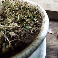 肥料の影響で枯れた表面の苔