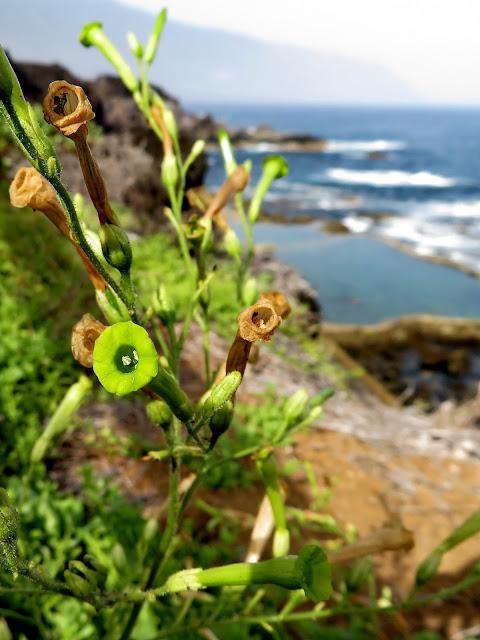 Nicotiana paniculata