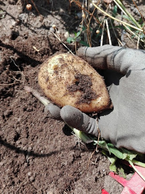 Coltivare le patate in un orto biologico