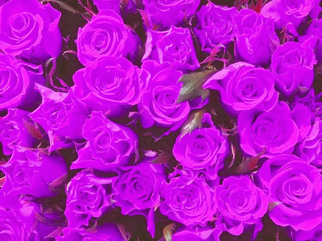 Sepadji Gallery Kumpulan Bunga Mawar Ungu