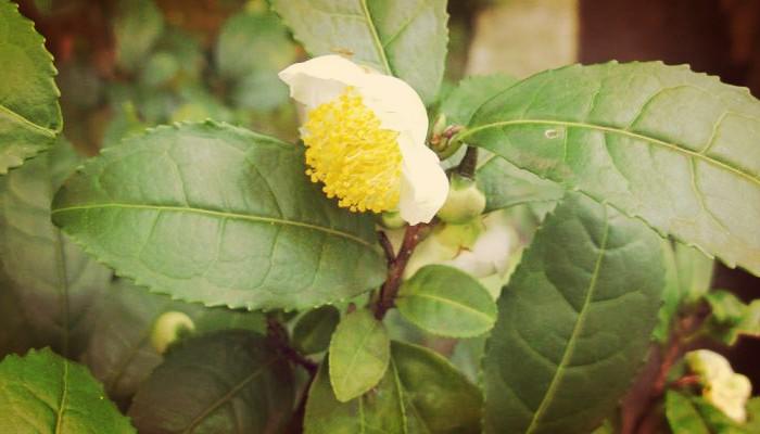Flores de camellia sinensis (Planta de té)