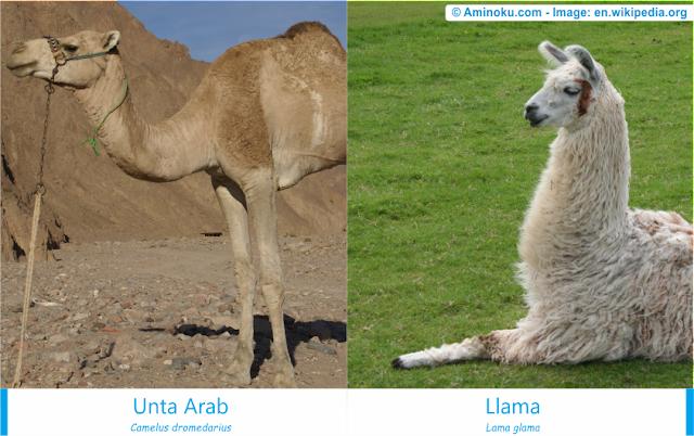 Perbedaan antara unta arab dan llama
